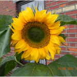 100312_2227_SunflowerCo1.png